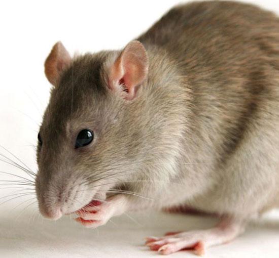 Nuôi răng trong thận chuột