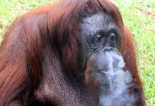 Đười ươi nghiện thuốc lá