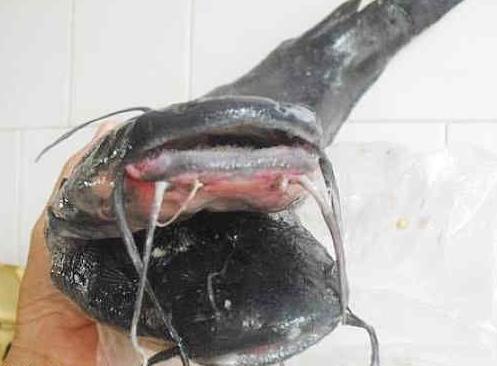 Cá trê đen hai đầu, 10 râu kỳ quái