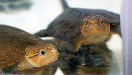 """Chiêm ngưỡng loài rùa """"quái dị"""" của Việt Nam"""