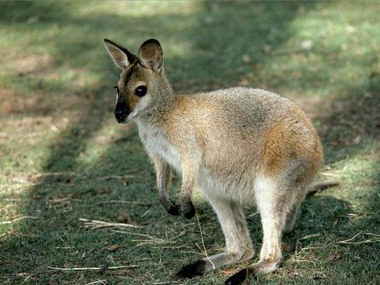 Phát hiện gene chống lại vi khuẩn từ động vật hữu nhũ ở Úc