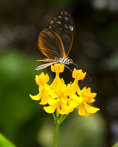 Bướm đậu trên một bông hoa trong vường Bách Thảo José Celestino ở Bogotá, Colombia. Colombia. Đây là một trong những quốc gia đa dạng về loài bướm nhất trên thế giới, với 5000 loài bướm ngày và 20.000 loài bướm đêm.
