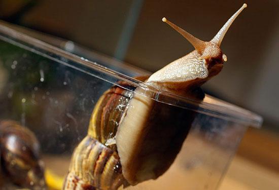 Con ốc sên châu Phi là một trong những loài ốc sên lớn nhất thế giới. Con trưởng thành có thể dài tới 20cm và đường kính 10cm. Loài ốc sên đang gây thiệt hại rất lớn đối với ngành nông nghiệp của bang Florida, Mỹ vì loài này ăn 500 loại thực vật khác nhau và có thể truyền bệnh viêm màng não cho con người.