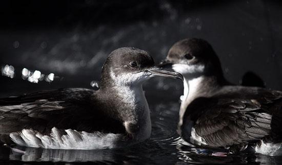 Những con chim hải âu Manx được cứu sau khi bị mắc kẹt do gió lớn trong một trận bão gần đây ở Taunton, Anh.