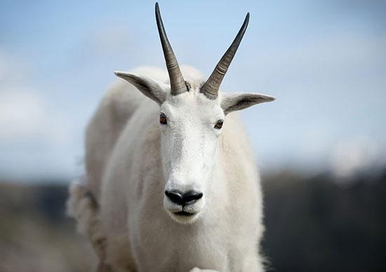 Con dê trắng đối mặt với nhiếp ảnh gia Dejan Smaic bên hồ Summit ở Colorado, Mỹ.
