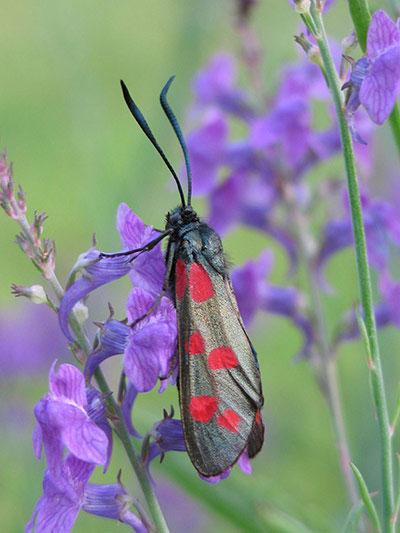 Một con bướm 6 chấm đậu trên cành hoa màu tím ở Anh.