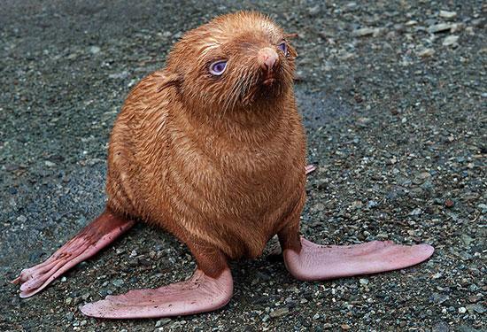 Một con hải cầu nhỏ bị bầy đàn bỏ rời vì ngoại hình khách thường. Con hải cầu này có bộ lông màu hoe vàng, chân màu hồng và mắt màu xanh. Nó được một nhà nhiếp ảnh phát hiện trên hòn đảo Tyuleniy, Nga.