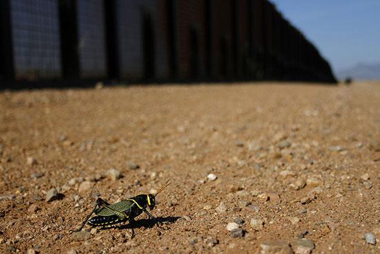 Một con châu chấu ở khu vực biên giới giữa Mỹ và Mexico.
