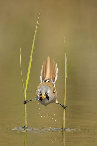 Chim mỏ két bắt ruồi trên mặt nước.