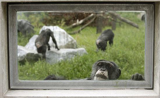 Một con tinh tinh nhìn qua cửa kính tại khu bảo tồn động vật hoang dã ở Gaenserndorf, Áo.