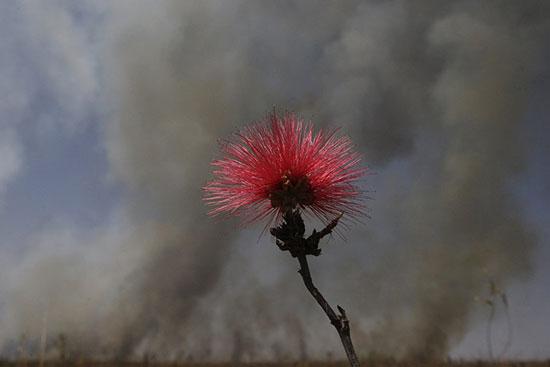 Hoa kiều hùng đỏ ở vùng thảo nguyên Cerrado của Brazil.