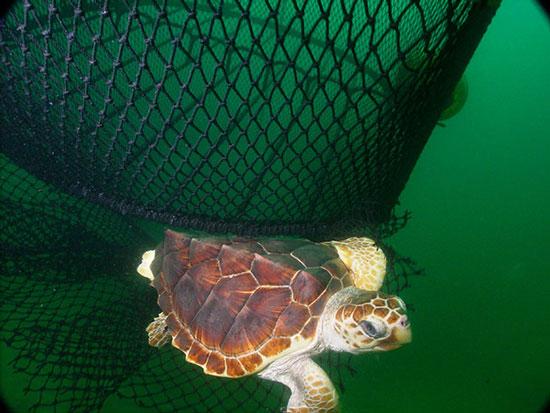 Một con rùa caretta bơi gần lưới đánh ở ngoài khơi nước Mỹ. Việc cải tiến lưới đánh cá đã giúp cứu sống 10.000 con rùa biển trong những năm gần đây. Tuy nhiên, rất nhiều ngư dân ở Mỹ vẫn dùng lưới vét để đánh cá do chưa có luật quy định.
