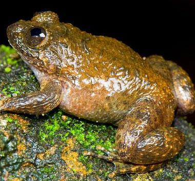 Phát hiện 12 loài ếch mới ở Ấn Độ