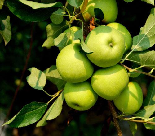 Tăng cường trái cây trắng như táo, lê, chuối, trong bữa ăn hàng ngày sẽ giúp bạn tránh được các cơn đột quỵ