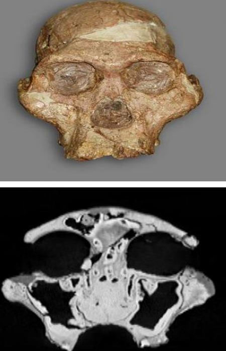 Các nhà khoa học đã sử dụng phương pháp quét CT để tìm hiểu sự tiến hóa của chi vượn người Australopithecus. (Ảnh: Science Daily)