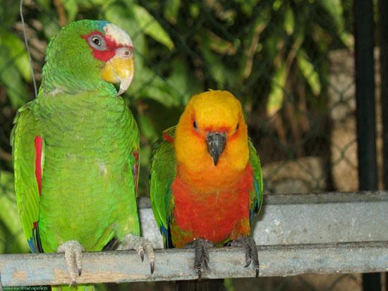 Chim nhà dạy chim rừng... nói tiếng Anh