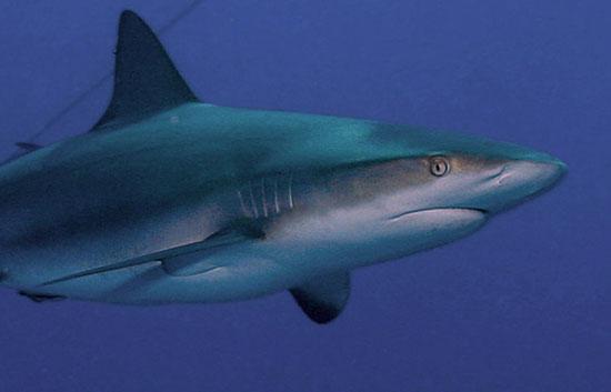 Hợp chất gan cá mập chữa sốt xuất huyết, viêm gan