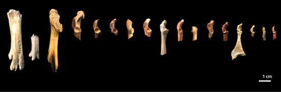 Các xương từ 17 loài chim đã tuyệt chủng thuộc kỷ Phấn trắng trong cùng khoảng thời gian với khủng long. Hai xương bên trái là xương chân và phần còn lại là xương vai. (Nguồn: Sciencedaily.com)