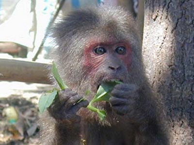 Bắt được một cá thể khỉ mặt đỏ đi lạc vào nhà dân