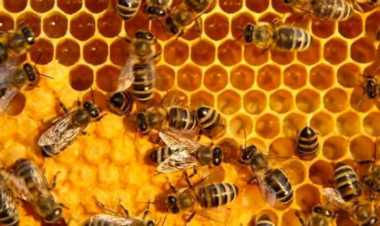 Đẳng cấp trong xã hội ong mật