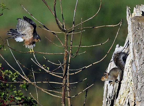 Ảnh đẹp: Chim cắt khiêu chiến sóc