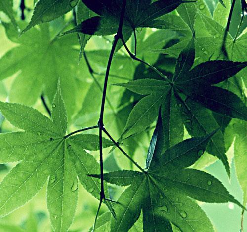 Vi mạch quang hợp như lá cây