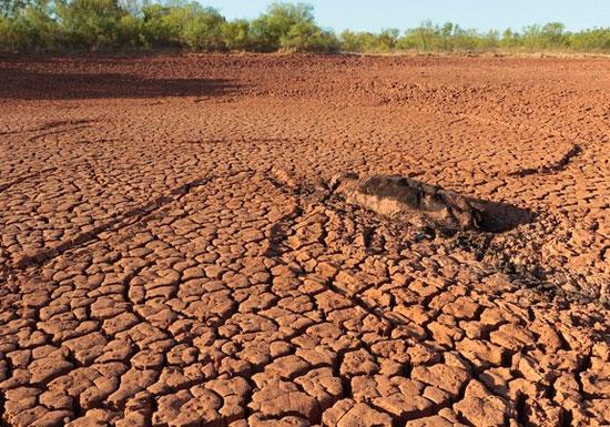 Một con bò bị chết khô trong đợt hạn hán năm nay ở Texas. (Ảnh: Earl Nottingham)