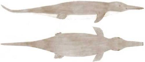 Thủy quái Gambo vẫn là bí ẩn đối với các nhà sinh vật học