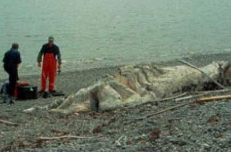 Thủy quái được phát hiện trên bãi biển Newfoundland
