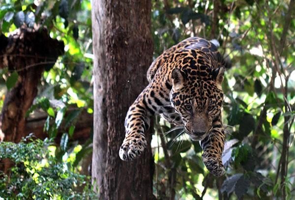 Sansao, một con báo Jaguar nhảy từ trên cây xuống ở khu bảo tồn NEX (Brazil). Hiện có khoảng 26 con báo Jaguar cư ngụ tại đây, phần lớn được chuyển về từ Amazon.