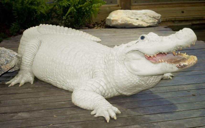 1 trong 4 con cá sấu trắng ở Gatorland, Florida (Mỹ). Hiện chỉ có khoảng 15 con cá sấu trắng trên thế giới.