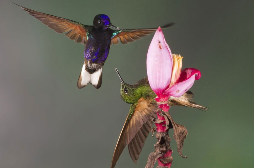 Cuộc chiến giữa 2 chú chim ruồi tranh giành nhau bông hoa chuối.