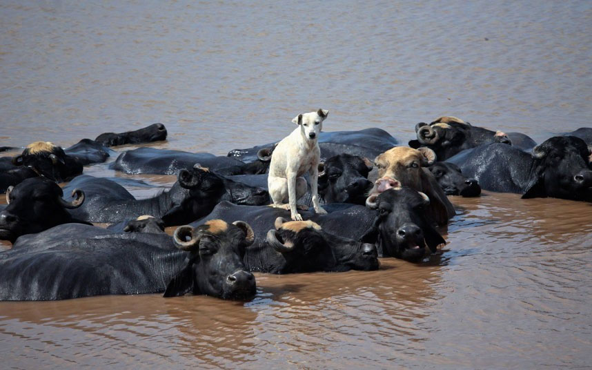 Chú chó nhỏ ngồi chễm chệ trên lưng đàn trâu đang tắm mát trên sông Ravi (Pakistan).
