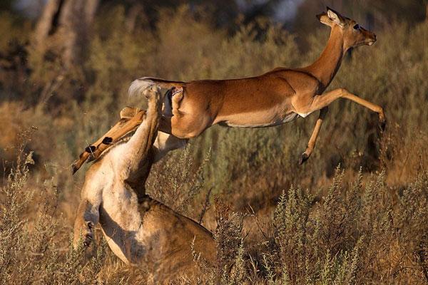 Khi cận kề với sư tử, con linh dương đã có một cú nhảy ngoạn mục và thoát chết trong gang tấc. Nó không chỉ thoát chết nhờ may mắn mà còn do con sư tử cái bị mù một bên mắt. Điều này làm cản trở khả năng săn mồi của con vật.