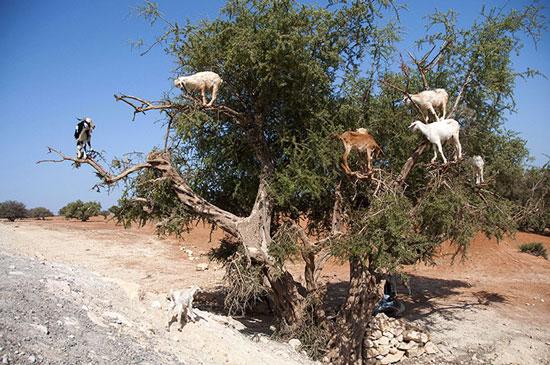 Tại khu vực gần Essaouira, Morocco, những con dê thi nhau trèo lên cây Argan để ăn quả.