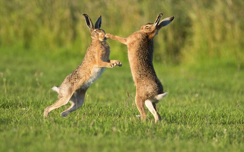 """Một con thỏ cái dùng 2 chân trước """"đấm"""" bất cứ con đực nào không may mắn đến gần nó. Chỉ có con đực nào chịu được đến cùng mới có quyền giao phối với con cái."""