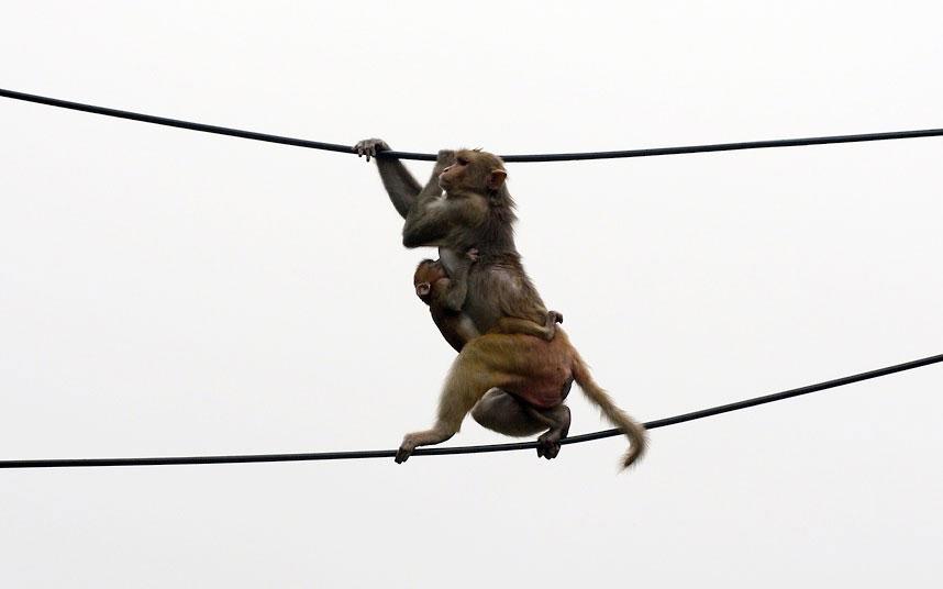 Một con khỉ macaque địu con leo dây điện tại một bãi đậu xe ở New Delhi, Ấn Độ