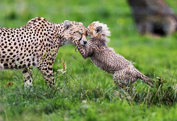 Báo mẹ âu yếm 1 trong 7 con báo cheetah con mới chào đời vào tháng 3/2012 tại vườn thú Whipsnade (Anh).