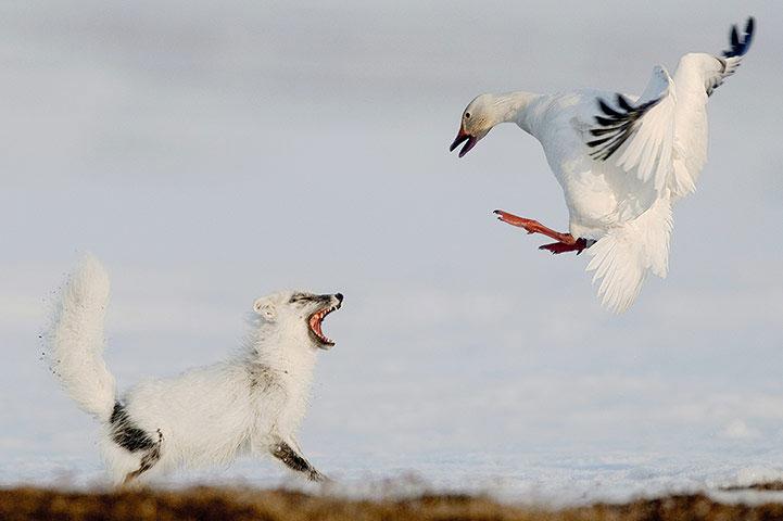 Một con ngỗng tuyết dũng cảm đánh đuổi cáo bắc cực khi con này định ăn cắp trứng ngỗng.