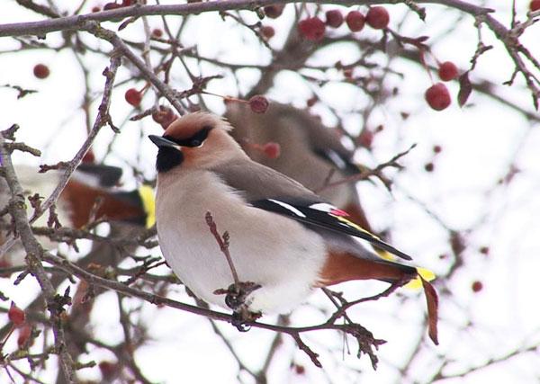 Tính phàm ăn của những con chim kim tước (Bohemian Waxwing Bombycilla garrulus) nhỏ bé thật phi thường. Chúng có thể dùng mỏ bứt các quả mọng ra khỏi cành rồi nuốt chửng không ngưng nghỉ, hết cành này sang cành khác, hết cây này sang cây khác. Khối lượng chung của quả mọng chúng ăn hàng ngày gấp khối lượng của chính chúng vài ba lần.