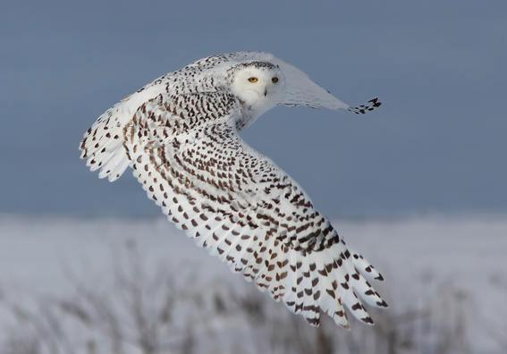 Cú Bắc cực hoặc cú trắng (Bubo scandiacus) là loài chim lớn nhất Bắc cực, chiều dài thân 55-65cm, sải cánh 150- 160cm, nặng 1,5 đến 2kg. Đây cũng là loài cú duy nhất có lông màu xanh da trời.