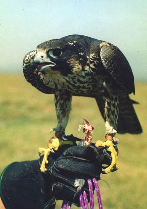 Сhim ưng săn (Falco peregrinu) là loài chim nhanh nhất trong thế giới động vật nói chung. Khi bay rượt theo con mồi, tốc độ của nó có thể đạt 322km/h hoặc 90m/s. Song đó là khi lao thẳng đứng. Còn bay ngang, nó bay chỉ nhanh bằng chim cắt.