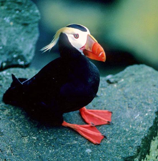 Một số loài chim bay được ở cả dưới nước, như chim hải âu rụt cổ (Fratercula cirrhata). Chúng bay theo đúng nghĩa như khi bay trên không, vỗ cánh để chuyển động về phía trước và liệng lên xuống trong môi trường nước.