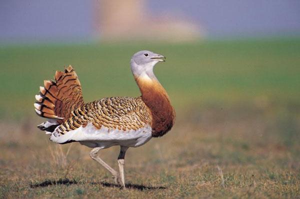 Loài chim bay được nặng nhất là chim otit lớn (tên khoa học Otis tarda), sống ở đông bắc và nam châu Phi. Trọng lượng trung bình của chúng là 19- 20kg.