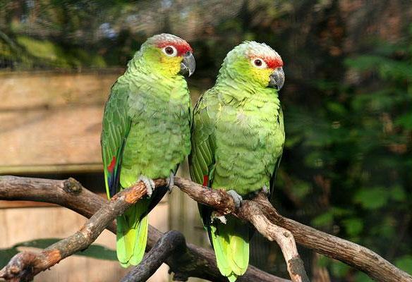 Vẹt amazon là loài chim bắt chước tiếng người rất giống. Bắt chước giỏi nhất là vẹt amazon đầu vàng. Nó có thể nói được thành câu vài chục từ. Có loài bắt chước tiếng chó sủa, mèo kêu, chim hót hoặc tiếng nổ của xe máy, tiếng rầm rì đều đều của máy hút bụi…