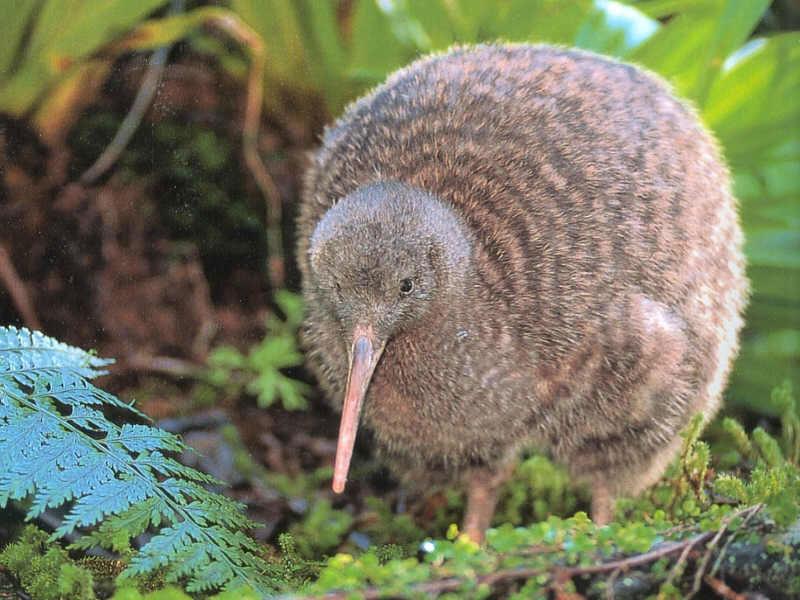 Trong số các loài chim, chim kiwi ở New Zealand, trứng đẻ ra to nhất so với thân hình chúng. Kiwi không có đuôi, không bay được, cánh ngắn ngủn, nhưng cơ bắp ở chân rất khỏe, móng vuốt sắc nên mỗi đêm chúng đi kiếm mồi vài kilomet. Loài chim này là biểu tượng của New Zealand, được vẽ trên quốc huy và tiền của nước này. Dù được bảo vệ nhưng số lượng giảm nhanh chóng, từ vài chục triệu con, sau 100 năm chỉ còn vài chục nghìn con kiwi.