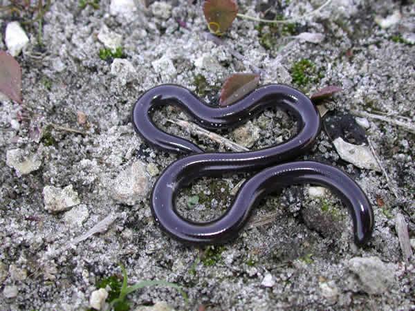 Rắn giun có một ngoại hình rất giống với loài giun đất thường gặp.