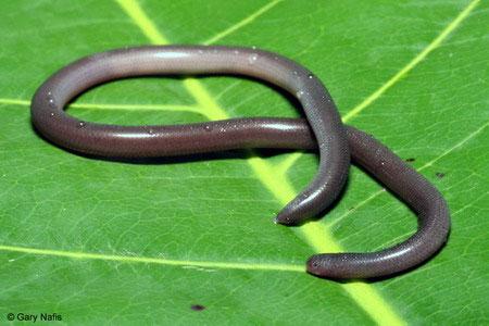 Kể cả có nọc độc thì chúng cũng vô hại, vì cái miệng quá nhỏ và yếu để có thể gây tổn thương trên bề mặt da người.