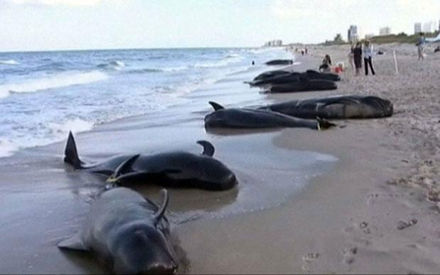 Mỹ điều tra vụ 17 con cá voi bị chết do dạt vào bờ