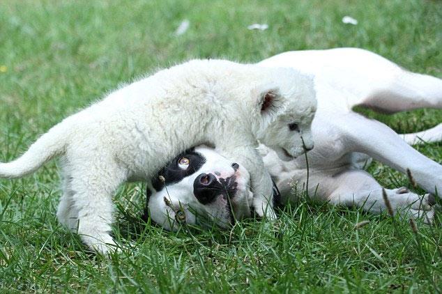 Sư tử trắng quý hiếm nhận chó làm cha